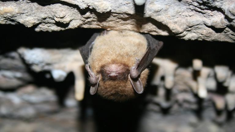 A little brown bat. Photo by Ann Froschauer. (U.S. Fish and Wildlife Service Headquarters / Flickr)