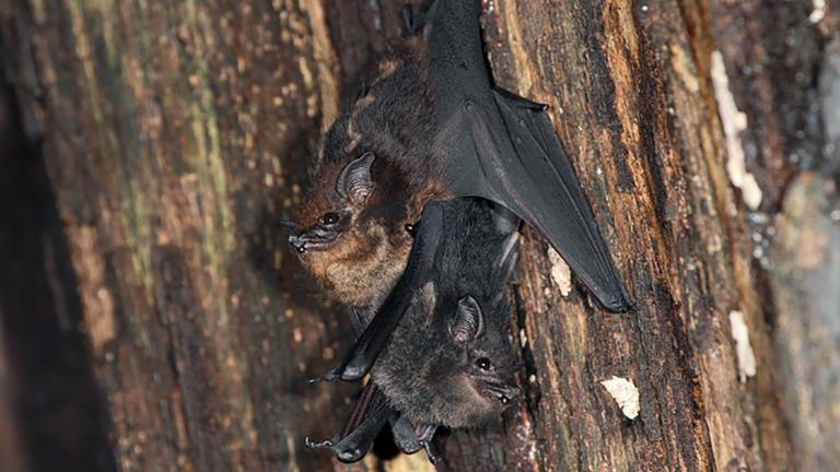 Mother and pup of the bat species Saccopteryx bilineata. Similar to human infants, pups begin babbling at a young age as they develop language skills. (Courtesy Ahana Fernandez / Michael Stifter)