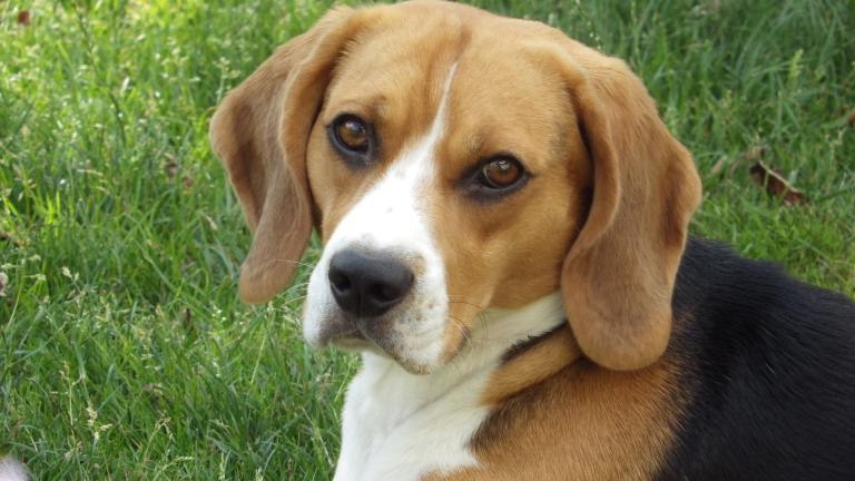 Beagles are the most commonly used dog breed in research because of their docile nature and inherent trust of humans, according to the animal advocacy group the Beagle Freedom Project.