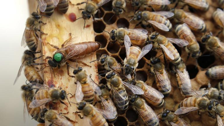 In this Aug. 7, 2019, file photo, the queen bee (marked in green) and worker bees move around a hive at the Veterans Affairs in Manchester, N.H. (AP Photo / Elise Amendola, File)