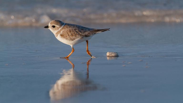 A piping plover (Lorraine Minns / Audubon Photography Awards)