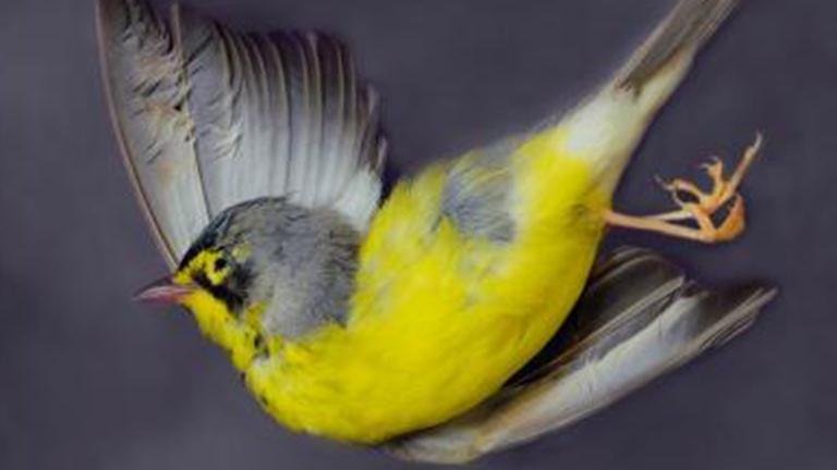 Canada warbler. (Art Fox)