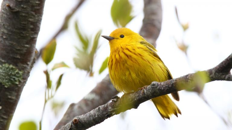 Yellow warblers are among the birds that have been banded for future identification at a new Chicago station. (Silver Leapers / Flickr)