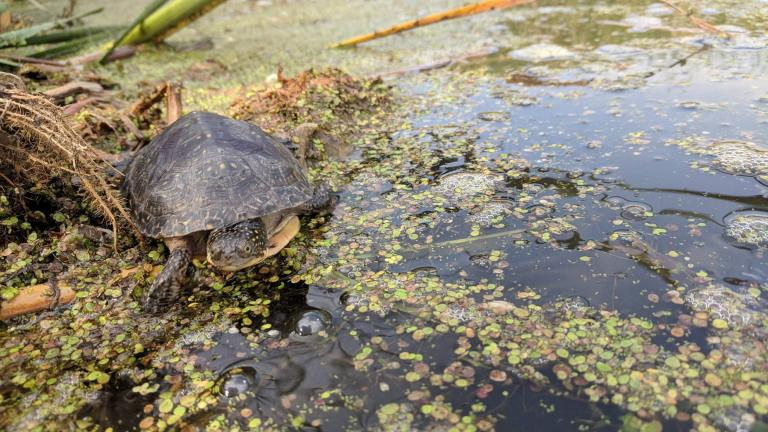 One of 52 Blanding's turtles released Wednesday at a DuPage County Forest Preserve site. (Ashley Hosmer / Peggy Notebaert Nature Museum)