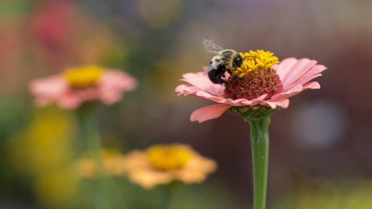 A bumblebee lands on a flower. (Courtesy Chicago Botanic Garden)