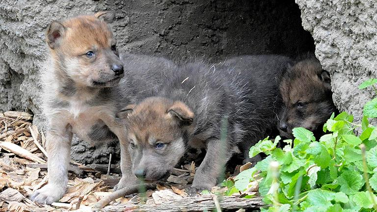 Mexican gray wolf pups, an endangered species, at Brookfield Zoo. (Brookfield Zoo)