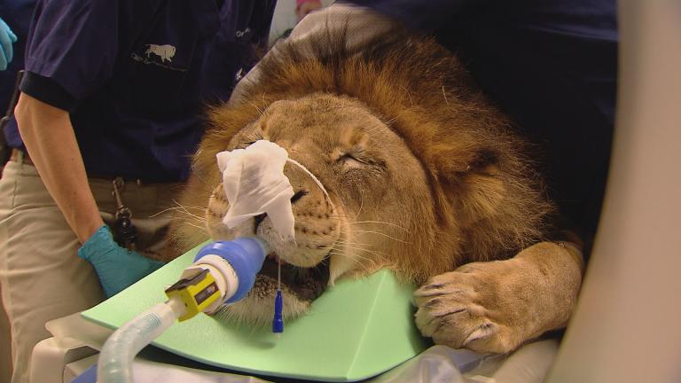 The animal welfare team at Brookfield Zoo tends to Zenda, a 10-year-old male lion who appeared to have a toothache. (Chicago Tonight)