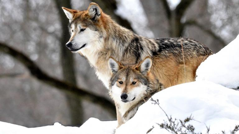 Meet Brookfield Zoo's new mother-daughter Mexican wolves, Sibi and Lorena. (Jim Schulz / Chicago Zoological Society)