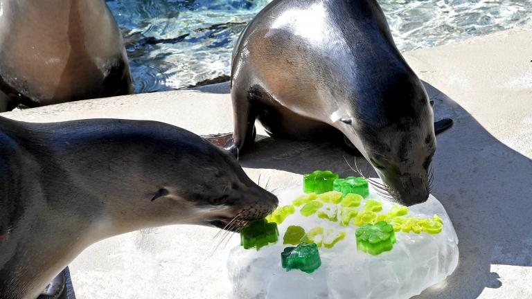 Lucy (left) and Charger, two California sea lions, received shamrock-shaped treats on St. Patrick's Day at Brookfield Zoo. (Jim Schulz / Chicago Zoological Society)