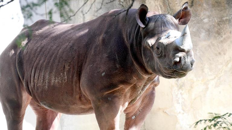 Layla, an eastern black rhinoceros at Brookfield Zoo (Courtesy Chicago Zoological Society)