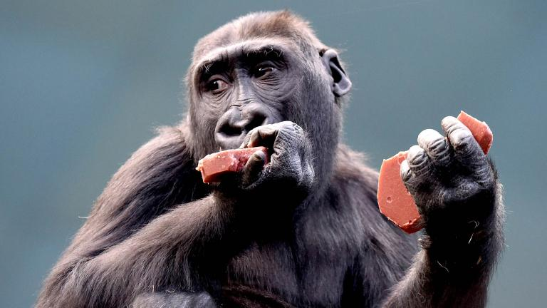 Nora, a 4-year-old western lowland gorilla, eats a heart-shaped treat at Brookfield Zoo. (Jim Schulz / Chicago Zoological Society)