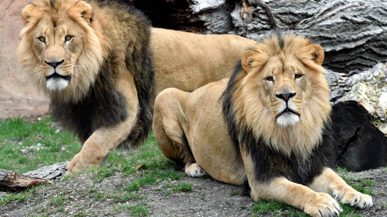 Brookfield Zoo recently welcomed a new pair of lions. (Jim Schulz / Chicago Zoological Society)