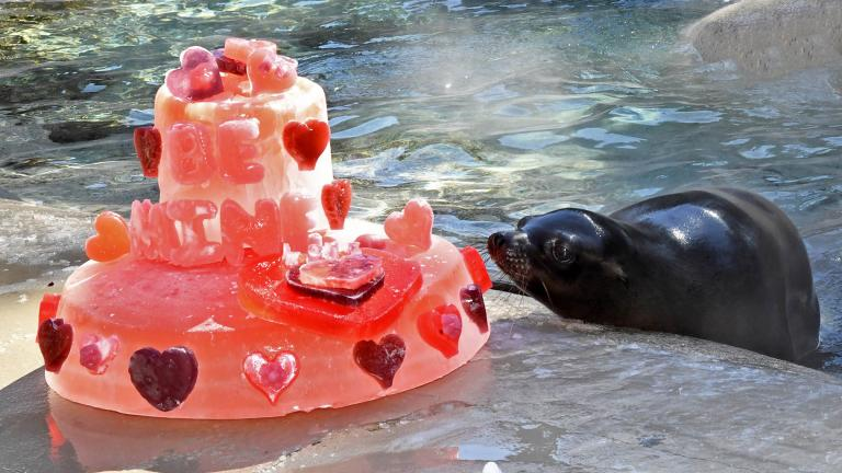 Charger the sea lion cozies up to a Valentine's Day cake. (Jim Schulz / Chicago Zoological Society)
