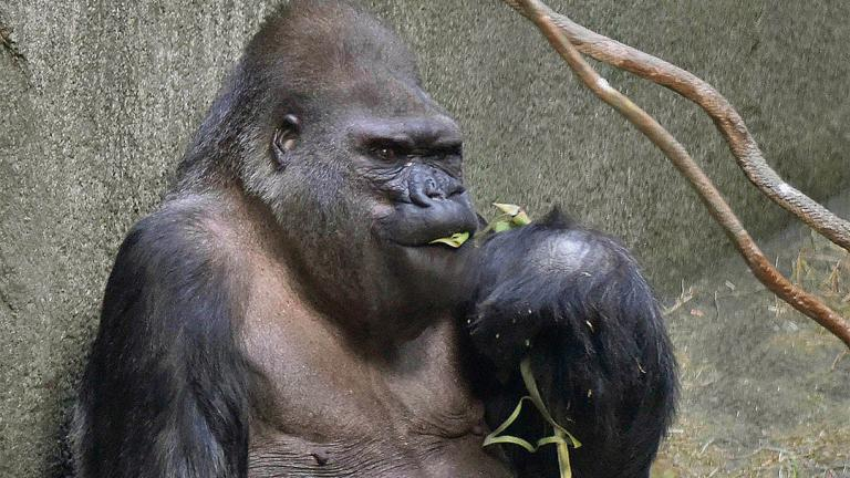Ramar, a 50-year-old western lowland gorilla, is the oldest animal at Brookfield Zoo. (Courtesy of Chicago Zoological Society)