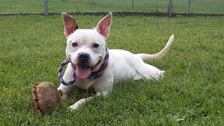 Copa is a 1-year-old male dog available for adoption through Chicago's city-run animal shelter (Chicago Animal Care and Control)