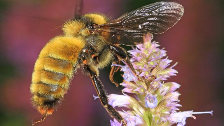 The bumble bee is one of hundreds of species of bees native to Illinois. (Judy Gallagher / Flickr)