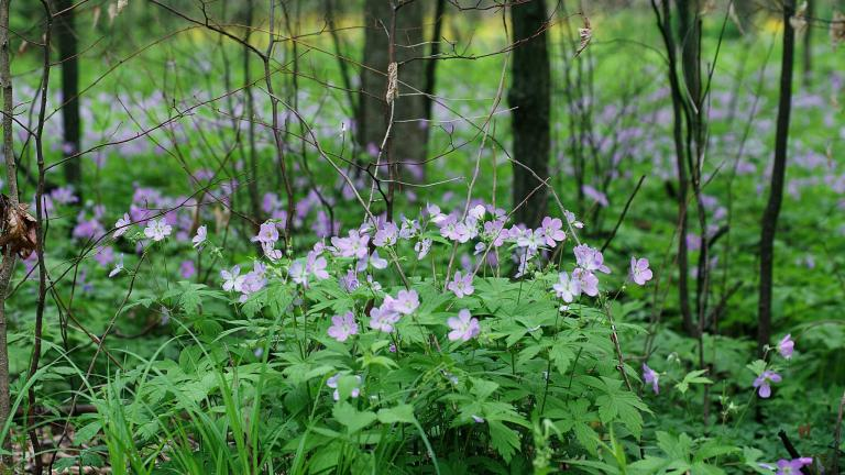 Wildflowers in Busse Woods. (Sajith T S / Flickr)