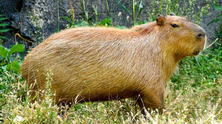 One of the three capybara, just arrived at the Brookfield Zoo. (Jim Schulz / CZS-Brookfield Zoo)