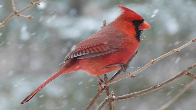 Cardinal. (tlparadis / Pixabay)