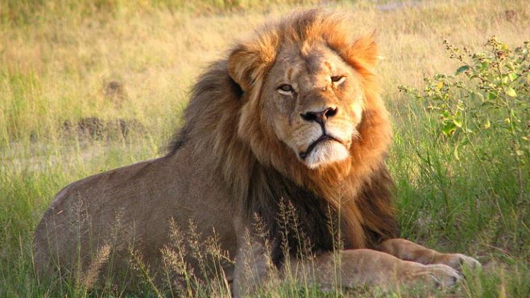 Cecil the lion at Hwange National Park in Zimbabwe.