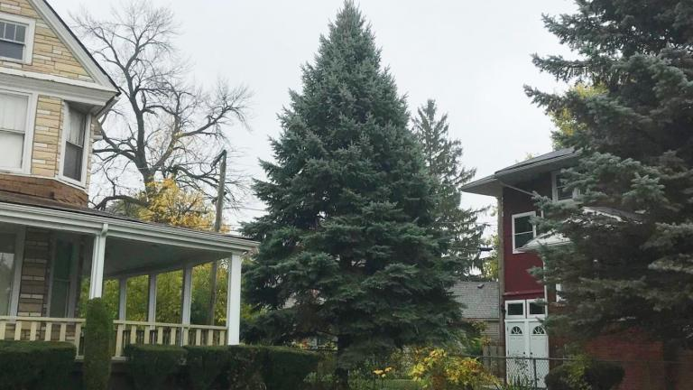 The 45-foot blue spruce will be on display Nov. 20-Jan. 7. (Courtesy City of Chicago)