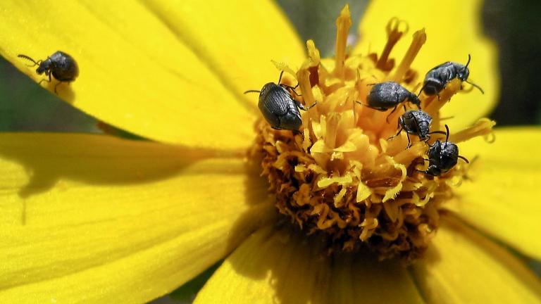 Acanthoscelides calvus (Photo by Laura Rericha)