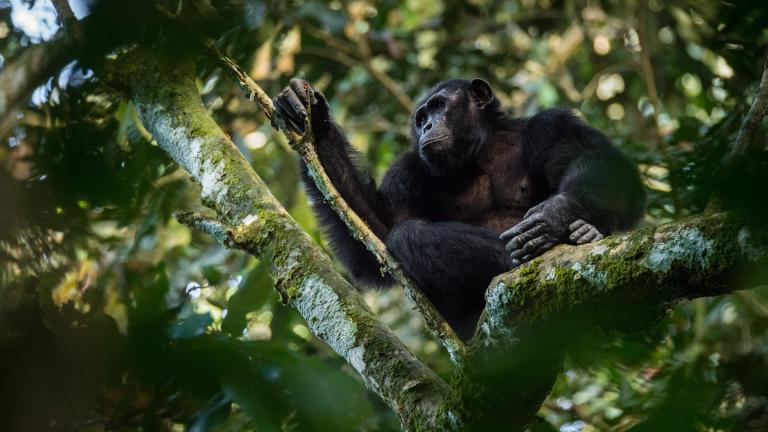 A chimpanzee in the Goualougo Triangle, part of the Nouabale-Ndoki National Park in the Republic of Congo. (Kyle de Nobrega / Wildlife Conservation Society)