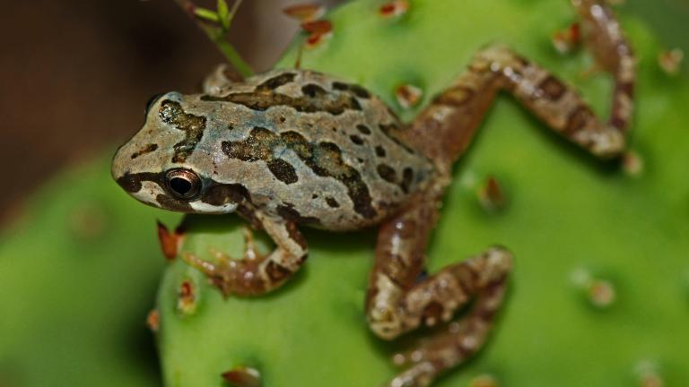 Chorus frog. (Peter Paplanus / Flickr)