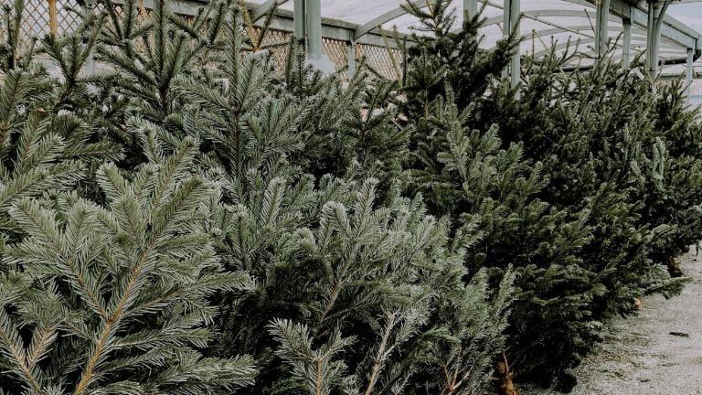 Christmas trees. (Lisa Fotios / Pexels)