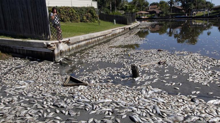 In this Tuesday, Oct. 30, 2012, file photo, Kim Bertini looks over some of the 15,000 dead fish that washed up near her backyard on Lake Madeline in Galveston, Texas. (Jennifer Reynolds / The Galveston County Daily News via AP, File)