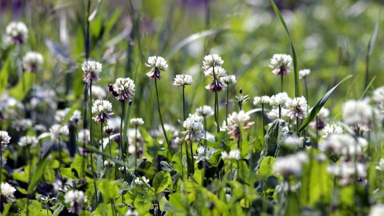 White clover lawns are a buffet for pollinators, especially bees. (zoosnow / Pixabay)