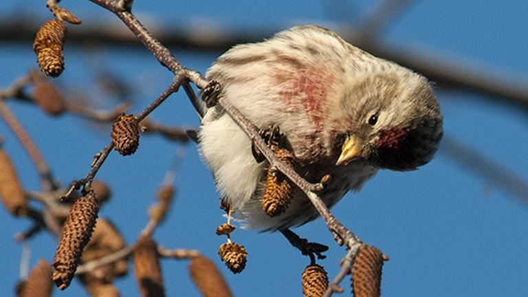 A common redpoll examines seeds from a birch tree at the Chicago Botanic Garden (Carol Freeman/Chicago Botanic Garden)