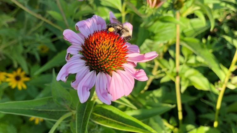 Nine species of echinacea are native to the U.S. (Patty Wetli / WTTW News)