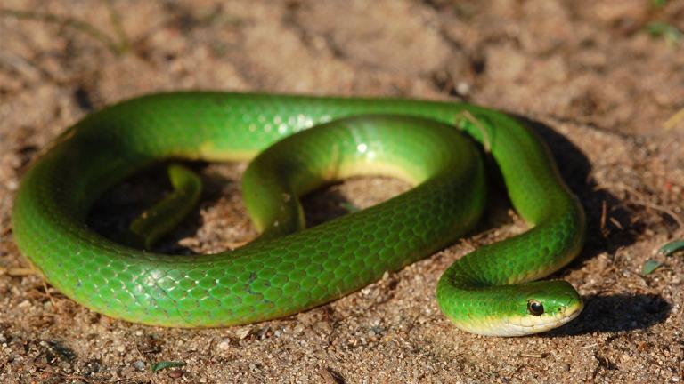 The Lincoln Park Zoo is breeding and releasing smooth green snakes, a species that's harmless to humans, in their preferred moist, marshy habitats. (squamatologist / Flickr)