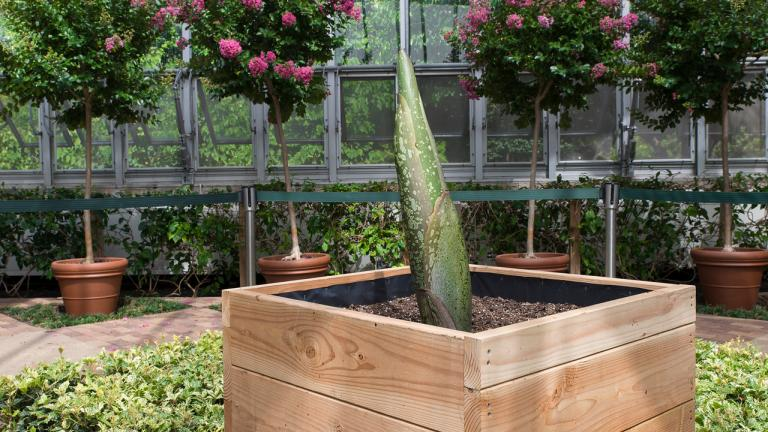 The corpse flower Spike is set to bloom in August. (Photo courtesy of the Chicago Botanic Garden)