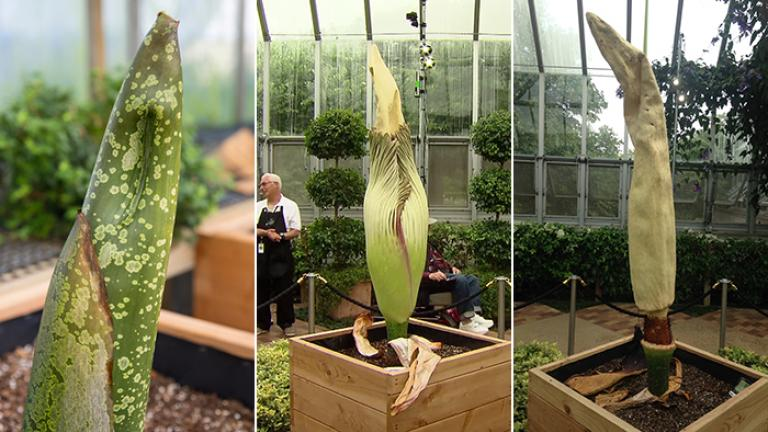 Spike, a corpse plant, on Aug. 3, left, Aug. 26, center, and Sept. 1 at the Chicago Botanic Garden.