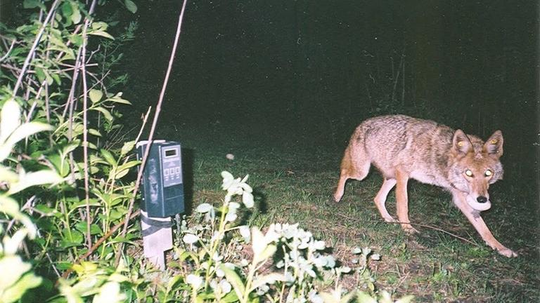 (Credit: Cook County Urban Coyote Research Project)