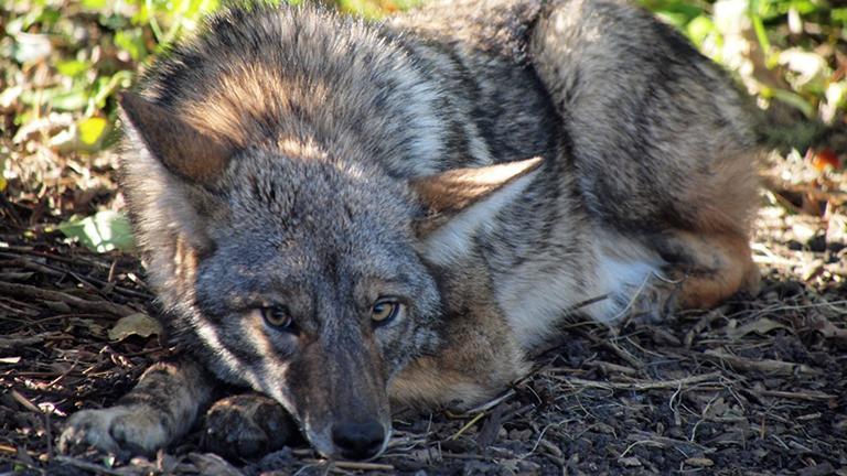 A coyote in Lincoln Park, near Belmont Harbor. (John Picken)