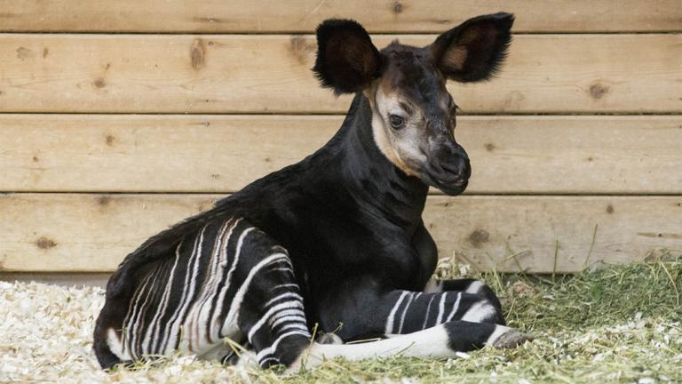 An okapi calf was born May 16 at Brookfield Zoo. (Chicago Zoological Society)