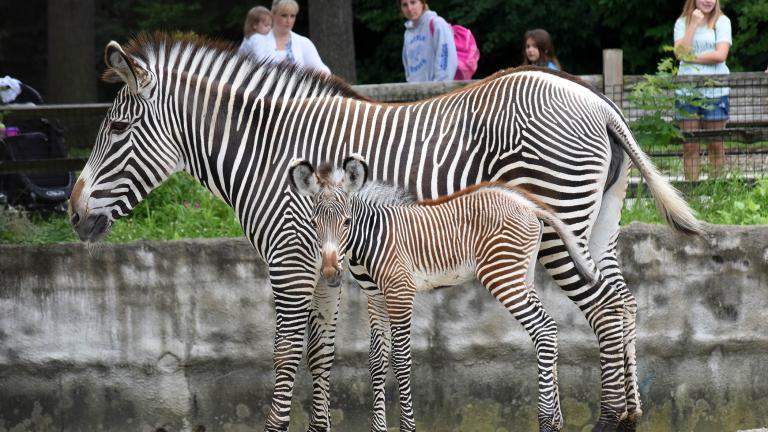 Grevy's zebra born at Brookfield Zoo on July 7 with her mom, Kali.