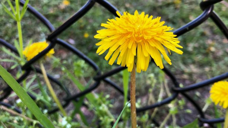 Dandelions are an important food source for pollinators, especially in the spring. (Patty Wetli / WTTW News)