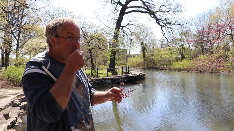 Professional forager Dave Odd tastes the flower of an eastern redbud tree in Chicago's Gompers Park on Thursday, May 7, 2020. (Evan Garcia / WTTW News)