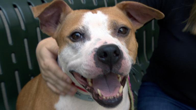 A dog in the care of The Anti-Cruelty Society. (WTTW News)