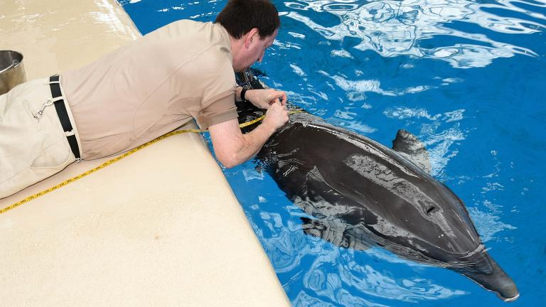 An animal care specialist at Brookfield Zoo measures the girth of a dolphin. (Courtesy Chicago Zoological Society)