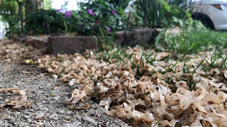 Elm seeds are blanketing lawns and sidewalks. (Patty Wetli / WTTW News)