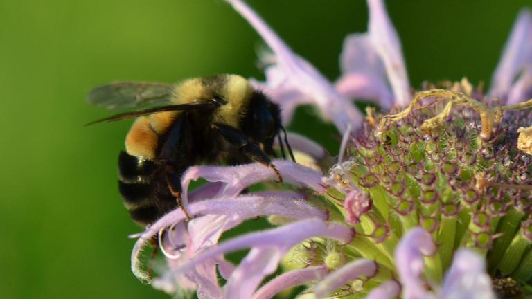 A rusty-patched bumble bee (U.S Fish and Wildlife Service / Wikimedia Commons)