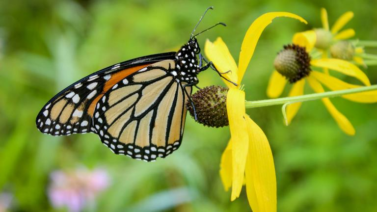 Conservation advocates worry that proposed legislation in Illinois could make it harder to protect vulnerable populations of monarch butterflies, which face a number of threats in the state. (Patrick Williams / Openlands)