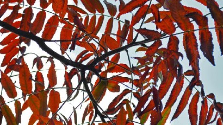 Staghorn Sumac. Image credit: The Morton Arboretum