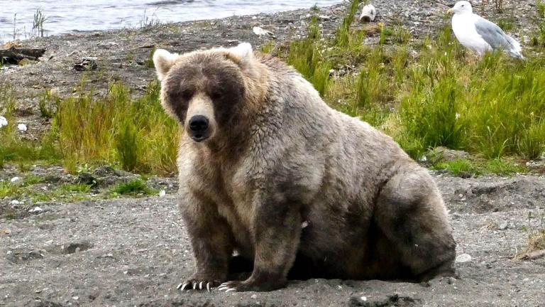Holly, the 2019 Fat Bear champ, is looking to defend her crown. (Katmai National Park & Preserve / Facebook)