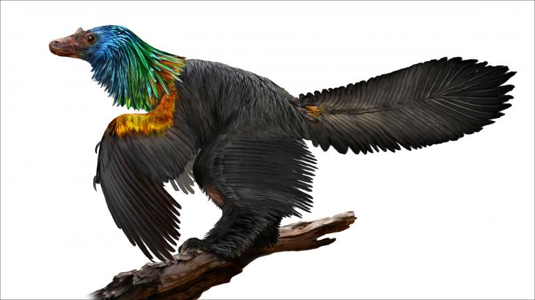 An illustration of Caihong juji, a newly discovered species of dinosaur from 161 million years ago that featured rainbow-colored feathers. (Illustration by Velizar Simeonovski / The Field Museum)